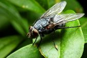 stock photo of blowfly  - Sarcophaga carnaria fly  - JPG