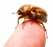 May-bug on a finger tip - conceptual photo