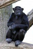 Portrait of a adult chimpanzee in Zoo Pilsen - Czech Republic - Europe