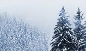 Misty day. Snow-cowered trees in National park Sumava - Czech Republic Europe. Monochrome photograph