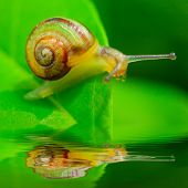 image of hermaphrodite  - Little snail on green leaf over garden pool - JPG