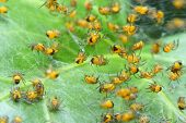 Rare photography. Nest of newborn Wasp Spiders (Argiope bruennichi) Macro with shallow DOF - spiders is 2mm sized