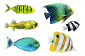 stock photo of angelfish  - Tropical fish collection on white background - JPG