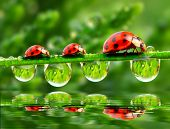 Three ladybugs running on a grass bridge over a spring flood.