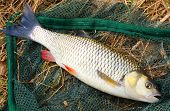 Big European Chub (Squalius cephalus) on a landing net.