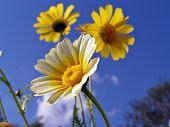 chrysanthemums in garden