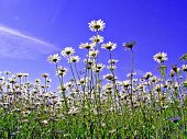 Daisywheels Feld