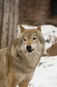 stock photo of dick  - portrait of the wolf in dick wood - JPG