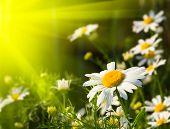 Summer day. Beautiful camomiles closeup.