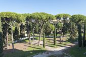 Many Beautiful Sea Pines In The Park, Rome, Italy. View Of Stone Pine, Botanical Name Pinus Pinea, A poster