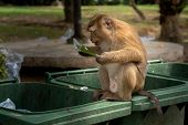 Monkeys are looking for food scraps from dirty trash to eat. Monkey eating food from dirty trash. poster