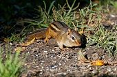 A Chipmunk Forages For Food. These Rodents Store Food In Cheek Pouches For Easy Transport To Their B poster