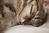 Sleeping Cat On White Background. Cute European Three Color Cat. Portrait Of Beautiful Cat. European poster