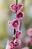 image of cherry blossom  - Sakura-Japanese cherry blossoms at the Hakone Garden in Saratoga Northern California
