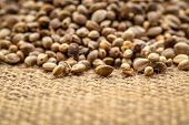 background of organic dried hemp seeds on burlap canvas  - low angle view with a shallow focus poster