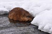Muskrat (ondatra Zibethicus) Rodent,wildlife Shot On River Drevnice,czech Republic poster