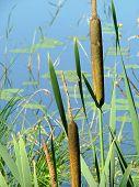 Schilf wächst am See