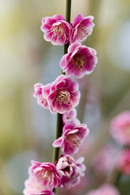 picture of cherry blossoms  - Sakura-Japanese cherry blossoms at the Hakone Garden in Saratoga Northern California ** Note: Shallow depth of field - JPG
