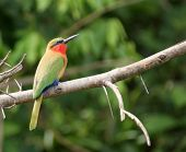 Colorful Bee-eater Sitting On A Twig