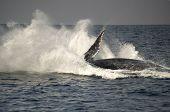 Humpback Whale Huge Breach Splash