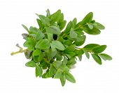 Boxwood (Box) Branches With Green Leaves