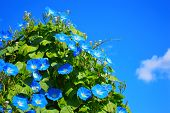 image of ipomoea  - Blue flowers ipomoea against the blue sky - JPG
