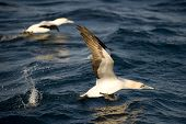 Cape Gannet Taking Off From Water