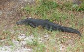 alligator in the grass