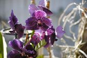 Purple Orchid Perfection