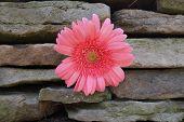 Pink Gerbera Daisy In Stone Wall