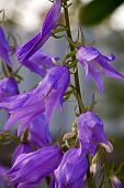 picture of harebell  - Beautiful harebell closeup against background of green leaves - JPG