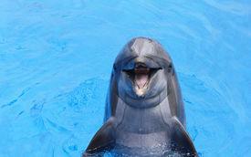 pic of bottlenose dolphin  - smiling atlantic bottlenose dolphin bobbing in water - JPG