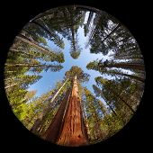 Complete circular fisheye view of the Giant Sequoia Trees in Mariposa Grove, Yosemite National park, California, USA