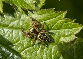 The Jumping Spider Family (salticidae)