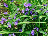 Tradescantia Virginiana Flowers