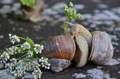 foto of hermaphrodite  - Couple of Burgundy snails on a wall in an intimate situation - JPG