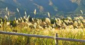 Pampas grass and wooden fence rails