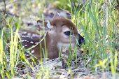 Tiny Whitetail Deer Fawn