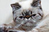 Exotic Shorthair Kitten