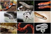 stock photo of venomous animals  - a collage with some snakes non venomous - JPG