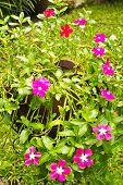 Colorful Vinca Flowers In Pots.