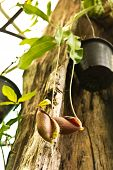 picture of nepenthes  - Tropical pitcher plants or Monkey cups in garden - JPG