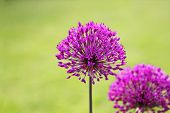beautiful allium flowers in garden setting,with space for text