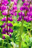 Lupin Magenta, flying to the flower bee