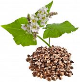 buckwheat plant flowering and buckwheat grain heap  isolated on white background