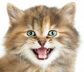 meowing cat or kitten closeup portrait