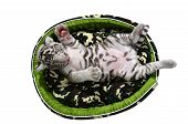 foto of white tiger cub  - baby white tiger laying in a mattress isolated on white background - JPG