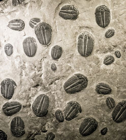 picture of paleozoic  - ancient trilobites fossils in stone - JPG
