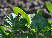 picture of potato bug  - Colorado beetle on the leaf of potato bush - JPG