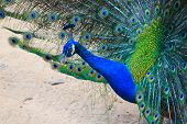 foto of peahen  - The Peacock With the Beautiful Multicolored Feathers - JPG